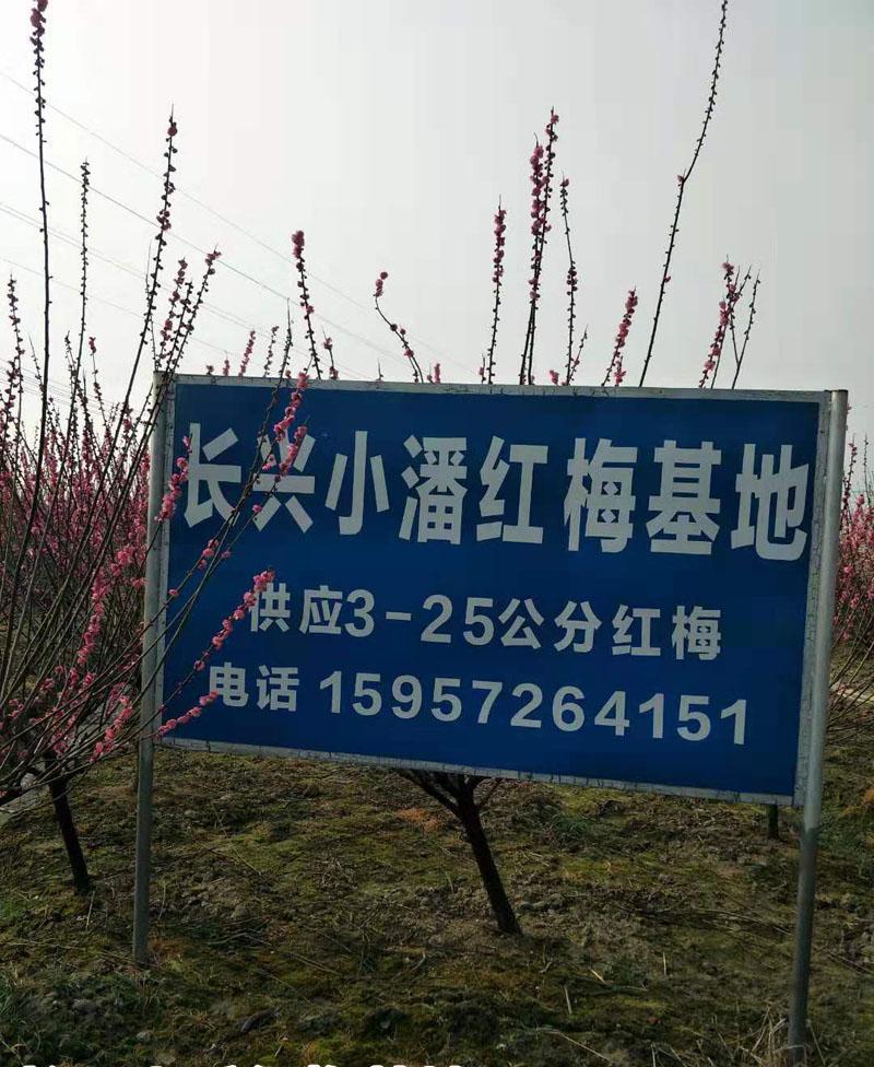 3公分红梅树基地