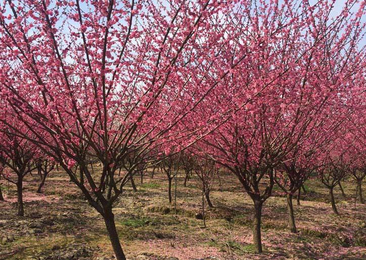 5公分红梅树批发