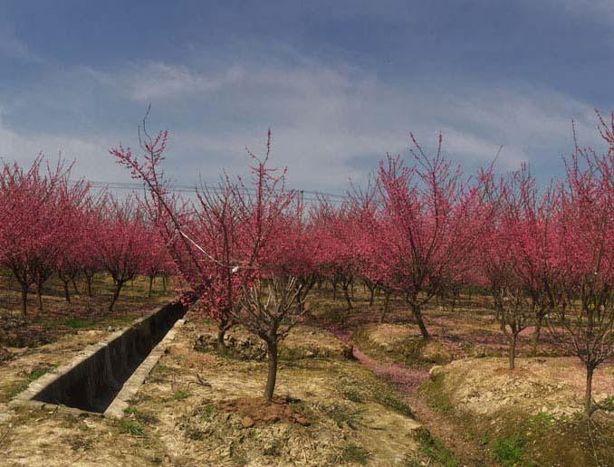 10公分红梅种植基地