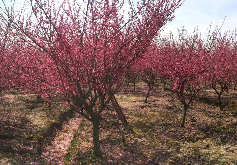 3-10公分红梅种植基地