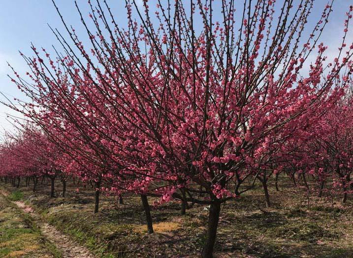 5-8公分红梅种植基地
