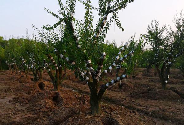 大红梅树移栽好活吗?