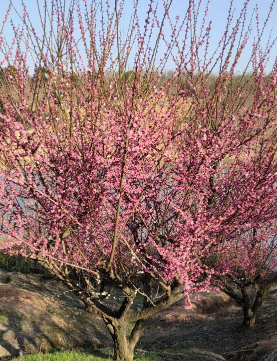 20-25公分红梅树