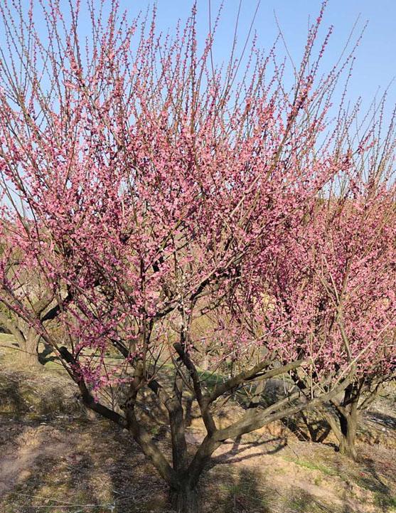 25公分红梅树批发的价格,25公分红梅树批发多少钱一颗