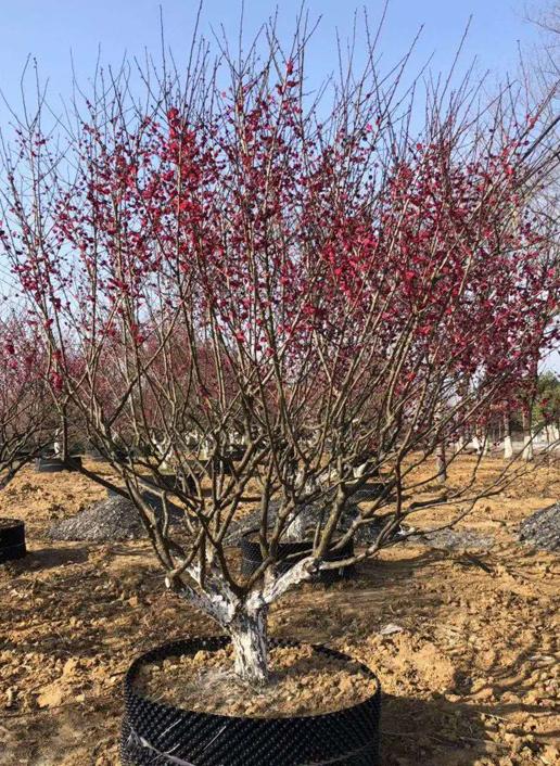 25公分精品红梅树