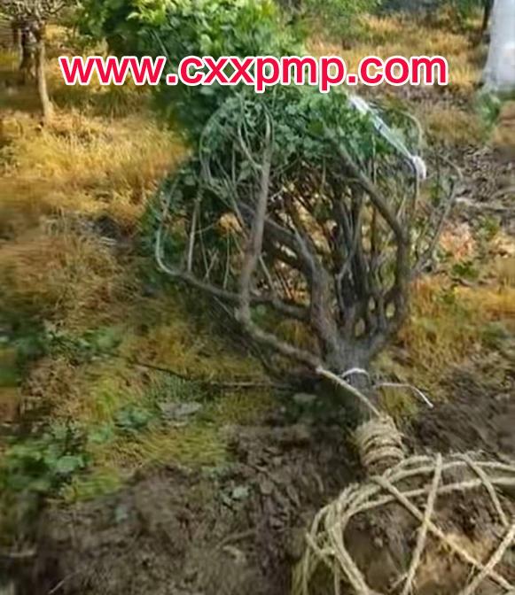 8公分原生红梅树